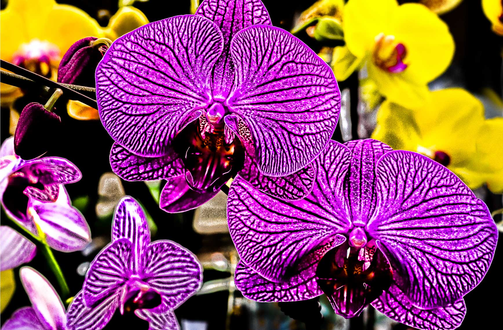 PurpleOrchidDSC00052